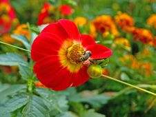 Bee On The Red Flower Royalty Free Stock Image