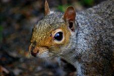 Free Squirrel Royalty Free Stock Photos - 5305328