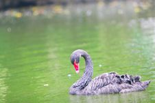 Free Black Swan Stock Photo - 5305590