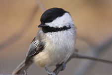 Free Black-capped Chickodee Royalty Free Stock Images - 5305699