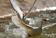 Free Geese In Taking Off Stock Images - 5305734