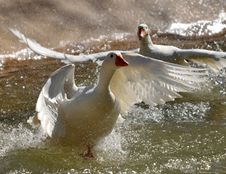 Free Geese In Taking Off Royalty Free Stock Photo - 5305735
