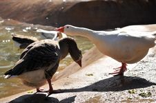 Free Geese Royalty Free Stock Photos - 5305738