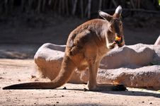Free Kangaroo Eating Stock Photo - 5305740