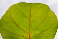 Free Leaf Detail Royalty Free Stock Photography - 5305887