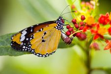Free Butterfly Royalty Free Stock Photography - 5306057