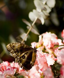 Free Butterfly Royalty Free Stock Image - 5306086