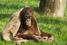 Free Baby Orangutan Royalty Free Stock Photo - 5306335