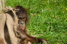 Free Baby Orangutan Royalty Free Stock Photo - 5306345