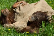 Free Baby Orangutan Royalty Free Stock Photos - 5306348