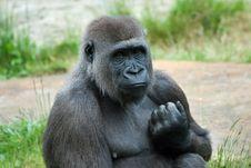 Free Female Gorilla Royalty Free Stock Image - 5306376