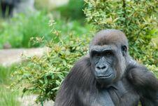 Free Female Gorilla Royalty Free Stock Photos - 5306418