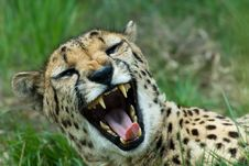 Free Beautiful Cheetah Stock Image - 5306441