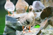Free Wide Goose 3 Royalty Free Stock Images - 5306679