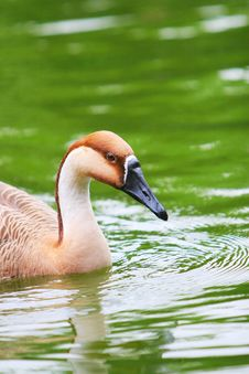 Free Wide Goose Royalty Free Stock Photos - 5306748