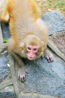 Free Monkey Royalty Free Stock Photo - 5306755