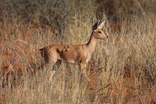 Free Steenbok Lumps Stock Photo - 5307700