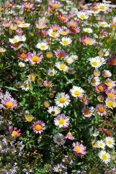 Free Daisies Royalty Free Stock Image - 5307996