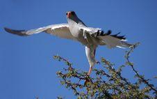 Free Hawk Royalty Free Stock Image - 5308146