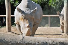 Rare White Rhinoceros Royalty Free Stock Photos