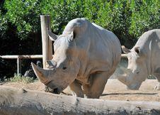 Rare White Rhinoceros Royalty Free Stock Photography