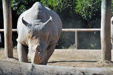 Rare White Rhinoceros Royalty Free Stock Image