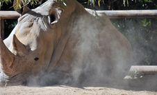 Rare White Rhinoceros Stock Photo