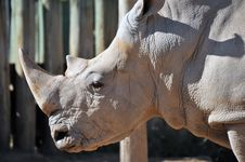 Rare White Rhinoceros Royalty Free Stock Photo