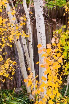 Free Autumn Quakies Stock Photo - 5308800