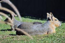 Free Patagonian Rabbit Stock Images - 5308904