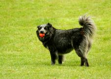 Free Black Dog With Ball In Its Mouth Royalty Free Stock Photo - 5309195