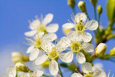 Free Cherry Blossom Stock Image - 5309291