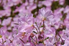 Free Pink Flowerbed Stock Image - 5309361