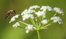 Free Hoverfly Stock Photos - 5309533