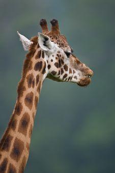 Free African Giraffe Stock Photography - 5309572