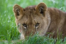 Free Stalking Lion Stock Photo - 5309580