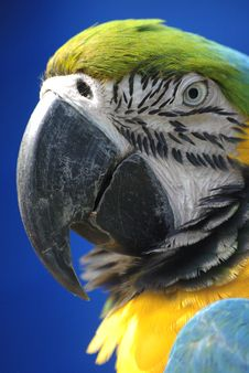 Free Blue And Yellow Macaw Stock Photos - 5309743
