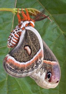 Free Cecropia Near Maple Leaf Stock Photography - 5309762