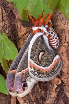 Free Cecropia Moth On Tree 3 Royalty Free Stock Images - 5309819