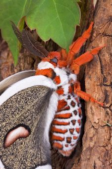 Cecropia Moth On Tree 4 Stock Photos