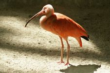 Red Ibis Stock Photos