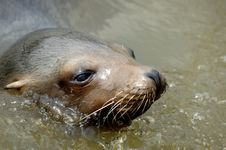 Californian Sea Lion Royalty Free Stock Photo