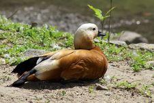 Free Orange Duck Stock Image - 5309921