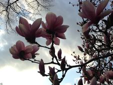 Magnolia Flowers In Central Park. Royalty Free Stock Photography