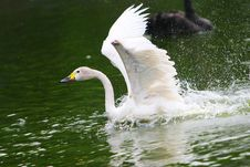 Free Swan Royalty Free Stock Photo - 5310005