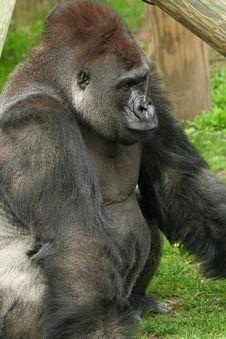 Silverback Gorilla Stock Image