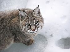 Free Close-up Bobcat Lynx On Snow Stock Images - 5310434