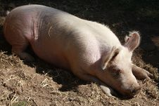 Free Pig Sleeping Royalty Free Stock Image - 5311546