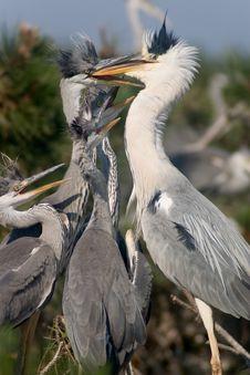 Free Heron Feeding Nestlings Stock Photos - 5311703