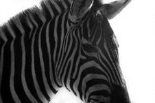 Free Zebra Stock Images - 5311784
